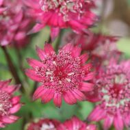 Astrantia major  'Washfield'' (Jarzmianka większa') - astrantia-major-washfield-595x595[1].jpg